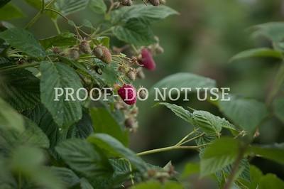 Raspberries 025