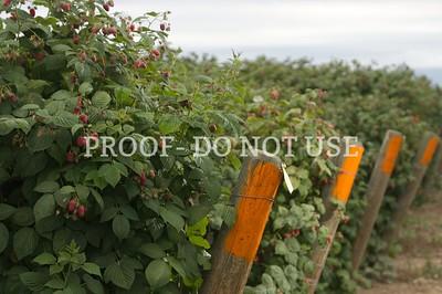 Raspberries 023