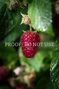 Raspberries 037
