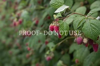 Raspberries 078