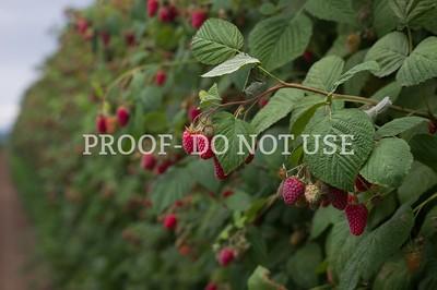Raspberries 077
