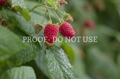 Raspberries 097