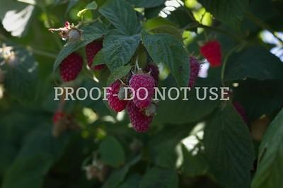 Raspberries 3 002