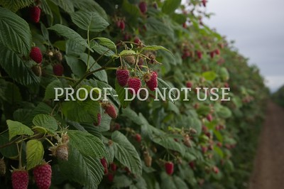 Raspberries 103