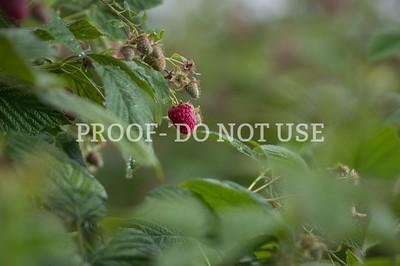 Raspberries 024