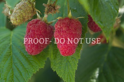 Raspberries 20055