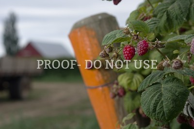 Raspberries 075