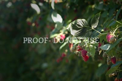 Raspberries 20060