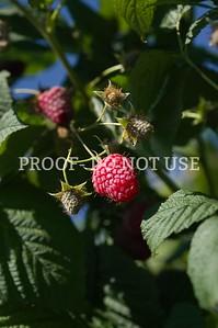 Raspberries 20029