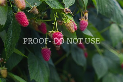 Raspberries 057