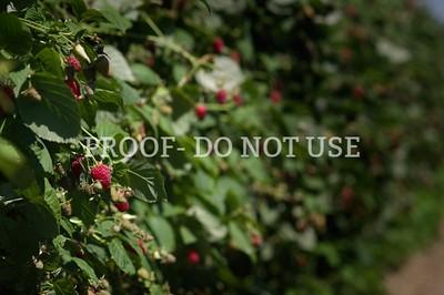 Raspberries 20063