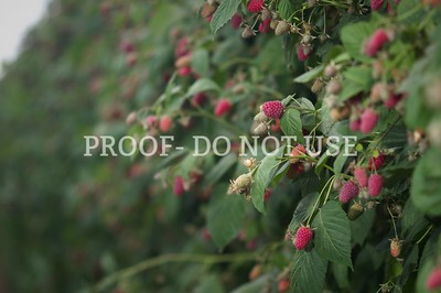 Raspberries 030