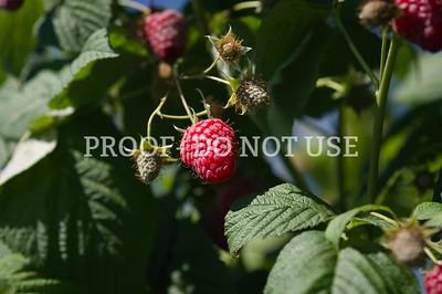 Raspberries 20032