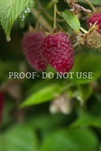 Raspberries 034