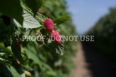 Raspberries 3 009