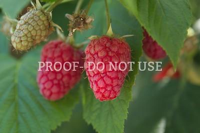 Raspberries 20048