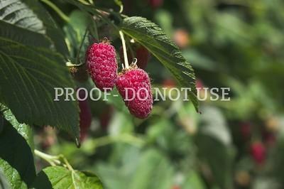 Raspberries 3 003