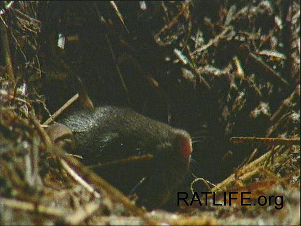 A new baby, born of released lab rats, surveys the outside world and considers venturing into it. (Berdoy, M. 2002. The Laboratory Rat: A Natural History. Film, 27 min. Ratlife.org.)