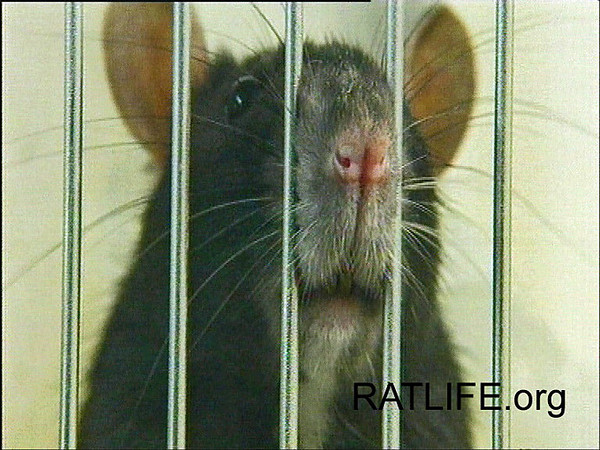 A lab rat peers through the cage bars, asking, why don't you let me go? (Berdoy, M. 2002. The Laboratory Rat: A Natural History. Film, 27 min. Ratlife.org.)