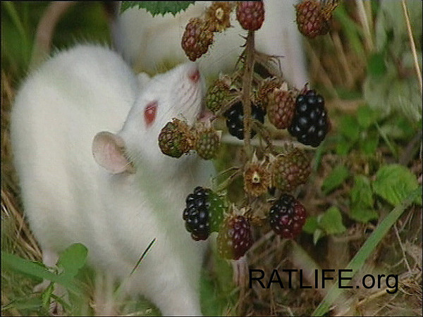 Released lab rats meet blackberry bushes. (Berdoy, M. 2002. The Laboratory Rat: A Natural History. Film, 27 min. Ratlife.org.)