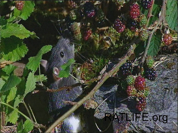 Released lab rat climbs and scrambles through the blackberry bush. (Berdoy, M. 2002. The Laboratory Rat: A Natural History. Film, 27 min. Ratlife.org.)