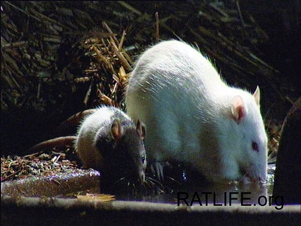 Released lab rat mom and baby hooded rat indicate the two groups of PEWs and Black Hooded rats have successfully integrated. Please note that these photographs are NOT on JoinRats to encourage anyone to breed rats! (Berdoy, M. 2002. The Laboratory Rat: A Natural History. Film, 27 min. Ratlife.org.)