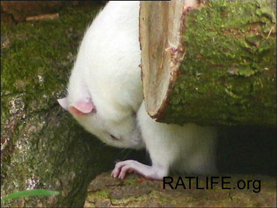 Released wild rat grooms herself on a rock. (Berdoy, M. 2002. The Laboratory Rat: A Natural History. Film, 27 min. Ratlife.org.)