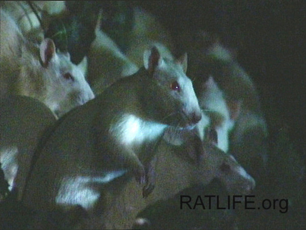 Released lab rats survey the night before exploring. (Berdoy, M. 2002. The Laboratory Rat: A Natural History. Film, 27 min. Ratlife.org.)