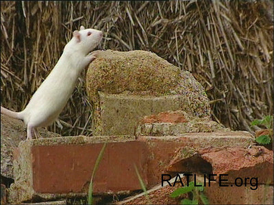Released lab rat begins to climb the heights of the bricks and the rocks, but has higher aspirations to take over the world. (Berdoy, M. 2002. The Laboratory Rat: A Natural History. Film, 27 min. Ratlife.org.)