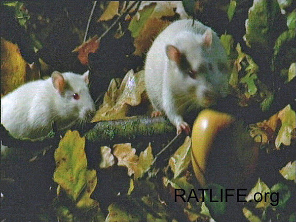 Released lab rats confidently make their way to the apple on the tree. (Berdoy, M. 2002. The Laboratory Rat: A Natural History. Film, 27 min. Ratlife.org.)