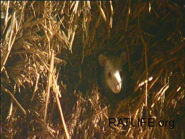 Released lab rat surveys the outdoors from the comfort of a huge hay bale infiltrated with burrows and rooms. (Berdoy, M. 2002. The Laboratory Rat: A Natural History. Film, 27 min. Ratlife.org.)