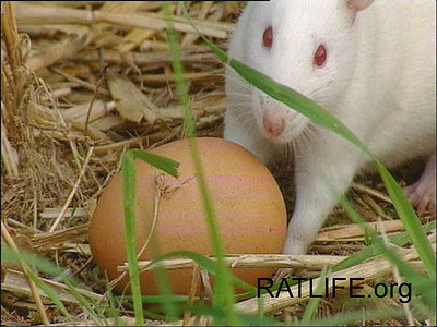 Released lab rat meets an egg. (Berdoy, M. 2002. The Laboratory Rat: A Natural History. Film, 27 min. Ratlife.org.)