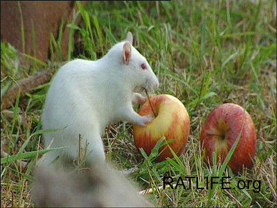 Released lab rat meets apples. (Berdoy, M. 2002. The Laboratory Rat: A Natural History. Film, 27 min. Ratlife.org.)