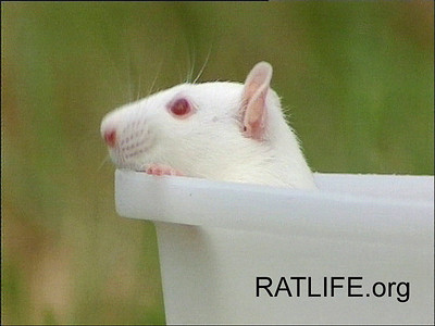 "One of 50 released lab rats peers out over the release box, sniffing fresh air for the first time. If you are viewing this from the keyword, ""all videos of rats"", click directly to the gallery to view several videos of a variety of activities of 50 lab rats who were released to a controlled, 'wild' environment. (Berdoy, M. 2002. The Laboratory Rat: A Natural History. Film, 27 min. Ratlife.org.)"