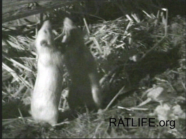 Two rats engage in wrestling behaviors that indicate they are finding their places in the social hierarchy. These research lab rats, released to a large, protected, natural envirionment by researchers, offered plenty of space for rats to retreat when needed. When rats unfamiliar with each other are abruptly confined together in small cages, wrestling can escalate to abnormal and serious degrees of aggression. We know of examples of one rat killing another in such circumstances, with one vicious swipe. (Photograph with permission, Berdoy, M. 2002. The Laboratory Rat: A Natural History. Film. 27 minutes. www.ratlife.org.)