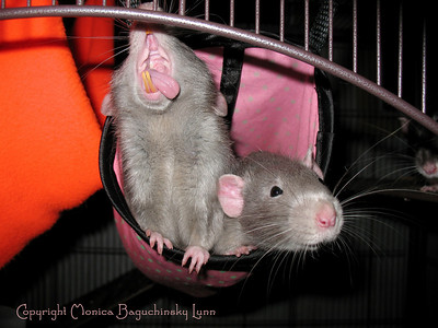 How fantastic is this photo of the sweet insides of a pet rat's mouth? We see lips and flaps and gums and healthy orange teeth, and ohhhh that amazing tongue. Oliver Rat models his mouth in astonishing detail as he wakes up from a nap and says hello to his human. His brother Simon is nearby, and Zack hides back in the shadows. Oliver is 5 months old (January 2011) and lives in northeastern Pennsylvania. Ollie and Simon are both extremely curious and friendly and love having attention and scritching from their human companions. Oliver's favorite human is his man human, Monica's husband, Jack. Permission to host granted to JoinRats by Monica Baguchinsky Lunn (visit her at http://www.moonpye.net).