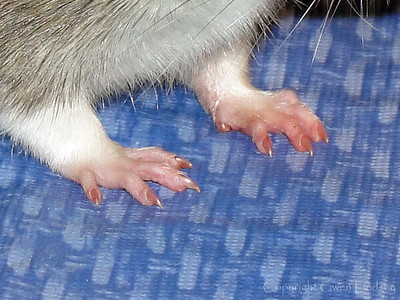 "Cutie rat hands. Or feet. No, definitely hands. My rats are always complaining to me, ""Why don't we have thumbs?"""
