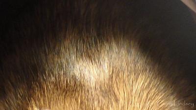 Agouti colorcoat, black, brown, grey.