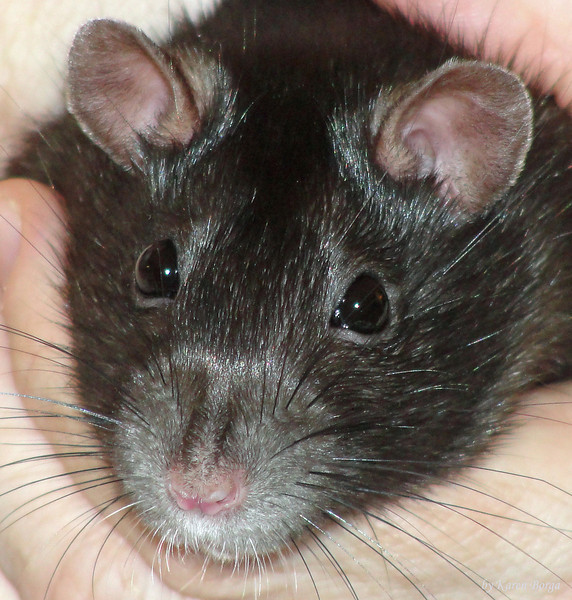 Black face of a black and white hooded rat.