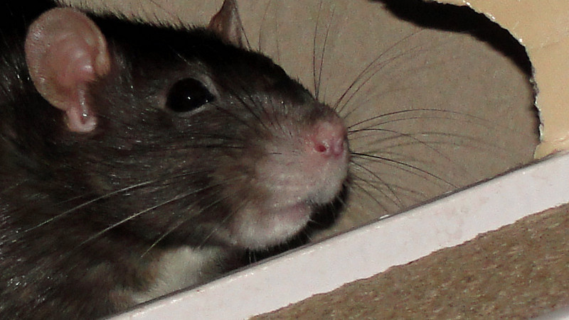 Black berkie ears, eyes, whiskers, lips. This old lady rat is 39 months old, so her snoot has turned from black to white and grey. It's not so easy to tell from this photo, but black berkshire rats, having a white belly, are half black and half white on all their rat parts: ears, eye lashes, whiskers, top of nose, and lips, will each have some white, and some black. Can you tell those lips have been kissed a million times? :)