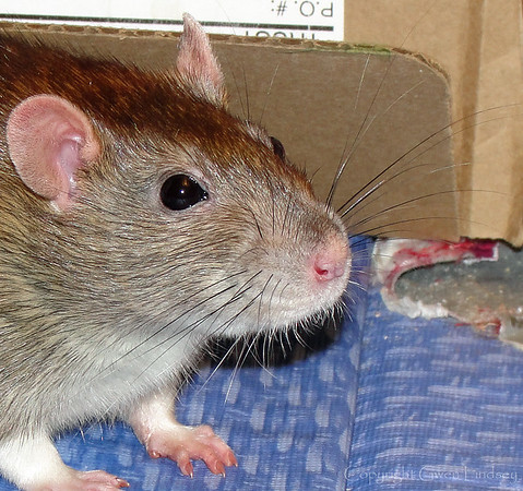 The whole rat face. Model Bonny.