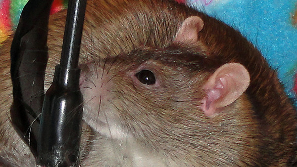 Feather-hunting rat shows off her whiskers and ears.