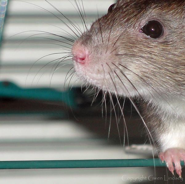 Agouti color rat whiskers