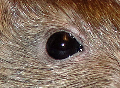 The black eye of this agouti berkshire rat shows as black in the camera flash.