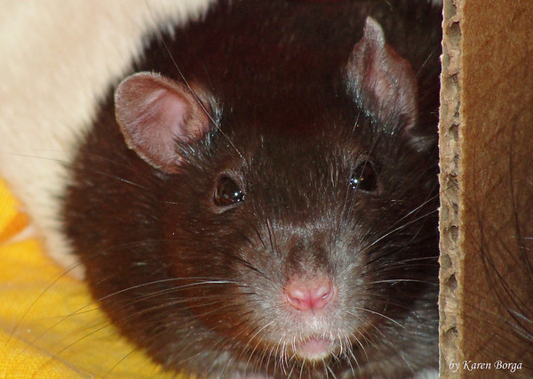 Smart rat face studies the camera.