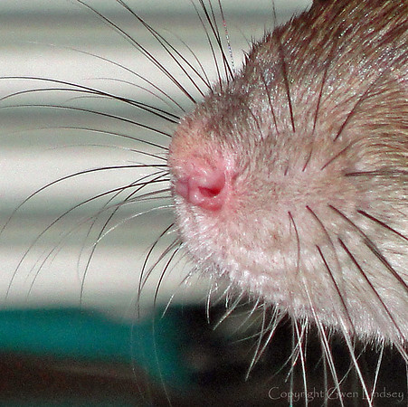 Whiskers, nose.