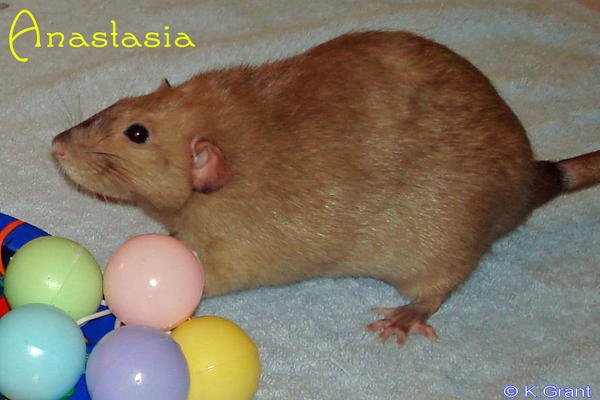 "Anastasia  models her beauty before her surgery adventures. Thanks to Karen Grant and courtesy of <a href=""http://ratguide.com/"">Rat Guide</a> for permission to host."