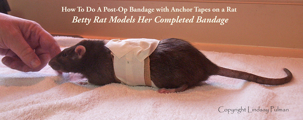 """<span class='lindsay-intro-list'> This is not a """"burrito"""" bandage, it's better. This loose-fitting yet secure bandage uses an anchor-tape mechanism. Please print the PDF instructions in this gallery and give them to your vet. This technique is not widely known yet may save the lives of many rats who irritate incision sites or bandages.  <br/>Lindsay Pulman's technique is invaluable. <br/>Visit  <a href=""""http://www.joinrats.com/RatHealth/BANDAGINGRATS/HowToBandageARat/10593184_MxeY6""""><i>""""How To Do A Post-Op Bandage with Anchor Tapes on a Rat""""</i></a> <br/> for the instructions and PDF. </span>"""