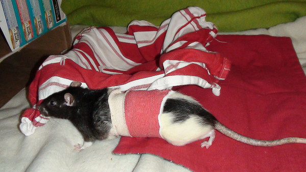 Rat 4: Number rat 34 in his post op body wrap, 1st bandage put on by the vet. While he was able to reasonably move about, he didn't eat well. His owner changed his bandage but he removed the 2nd one. Enough days had passed that his incision was healed well enough. See the video of Thirdeefor roaming around modeling this bandage, in this gallery.