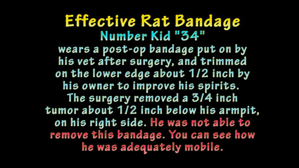Rat 4: Number rat 34 in his post op body wrap, 1st bandage put on by the vet. While he was able to reasonably move about, he didn't eat well. His owner changed his bandage but he removed the 2nd one. Enough days had passed that his incision was healed well enough.